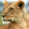 death_gone_mad: A lioness, head turned around (lioness turned)