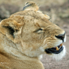 death_gone_mad: Annoyed lioness (lioness annoyed)