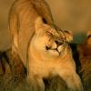 death_gone_mad: A lioness streeeeeeching (lioness stretch)