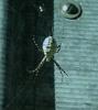 argiope: Pair of Argiope trifasciata, Montana, 2004 (Spider Love)