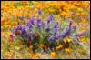 moose_squirrel: taken at Antelope Valley Poppy Reserve, California (pic#646173)