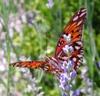 shadowycat: (Butterfly)