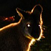 frith: Backlit portrait with glowing eyes (dark wallaby)