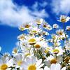imagineireann: (Daisies)