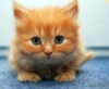jaguarkitty: vibrant orange kitten looking directly at the viewer on a light blue background (kitten)