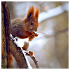 susanreads: a red squirrel (squirrel, autumn)