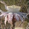 cereus: Cereus cactus blossom (Cereus)