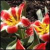 lizcommotion: red white and yellow tulips in full bloom with dew on them (tulips red)