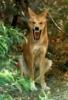 snarkysneak: (Dingo) (Default)