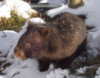 snarkysneak: (Snowy Wombat)
