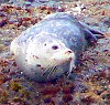 ariestess: (harbor seal)