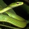krait: Greensnake in profile, eye prominent (looking at you)