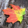 quercus: A fall maple leaf, red at the top, yellow the middle and green at the bottom. (Maple leaf)
