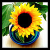 thedivinegoat: A photo of yellow sunflowers in a blue & green stripey  jug and bowl. (My Photo - Sunflowers)
