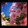 thedivinegoat: A photo of pink flowers against a blue sky. (My Photo - Pink Flowers)
