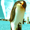 phinnia: penguin looking down at its baby <3 (antarctica/penguinparent)