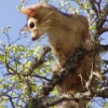 cereus: Ringtail Cat climbing tree (ringtail)