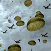 plum177: Four planes pass overhead. Green army parachutes rain from the sky. At least eleven 'chutes can be seen open. (BoB - Parachutes) (Default)