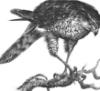 arkessian: (sparrowhawk)