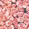 flower: (photo   roses)