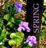 moth2fic: violets plus caption 'spring' (Default)