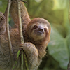 solitarysloth: A three-toed sloth hanging in a tree, inquisitive. (sloth (not the sin))