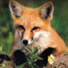 arethinn: photo of a fox looking interested in something (curious interested (fox))