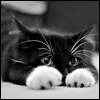 opusculus: A black kitten with white paws lying flat on the ground, staring into your soul (Tinycat watches you)