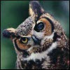 jennaria: Great horned owl with its head tilted to one side quizzically (Baroo?)