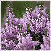 solkh: (ericaceae)