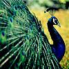 queenlua: (Peacock)