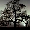 lillian13: (Ansel Adams tree)
