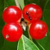 15_the_circle: (honeysuckle berries)