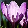 15_the_circle: (purple crocus)