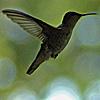 15_the_circle: (hummingbird)