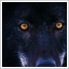 smallwolf: a picture of a black wolf up close (Default)
