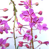icefall: fireweed blossoms (Fireweed)