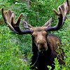 meowse: Moose in shrubbery, full face (Moose)