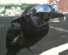 killing_rose: Raven/corvid wearing oversized sunglasses on his beak (Sunglasses raven)