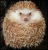 pataisen: (hedgehog) (Default)