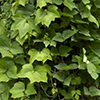 creeper_vine: (CREEPING KUDZU!!)