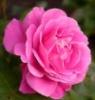 supergee: (rose)