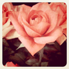 fascination: A close-up photograph of a rose, with a vintage effect applied. (Blooming.)