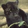 ext_62515: (panther)