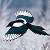 queenlua: (Magpie (Snow))