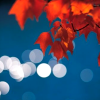 spatz: red leaves hanging in foreground with out-of-focus lights in the distance (fall lights in the distance)