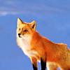 crotalus: (Fox!)