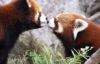 merkitty: kissing red pandas (red panda)