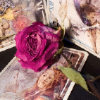 fascination: A rose nestled amongst some tarot cards. (Divination.)