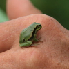 woggy: (Small Frog)